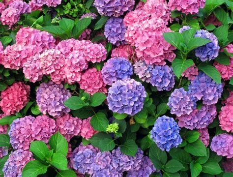 Tanaman Blue Mophead Hydrangea cara menanam bunga hydrangea http bibitbunga cara menanam bunga hydrangea