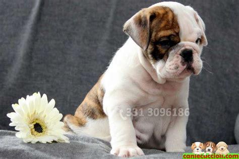 bulldog inglese appartamento annunci cuccioli cucciolo animali in vendita vendita