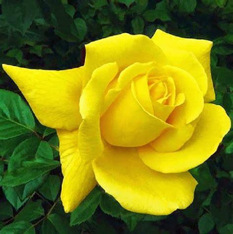 imagenes de rosas hermosas amarillas hermosos fondos de rosas y flores rojas blancas moradas