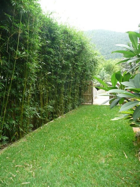 bamboo backyard privacy slender weavers graceful textilis gracilis one of our