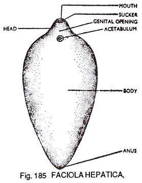 labelled diagram of fasciola hepatica structure of liver fluke fasciola hepatica zoology