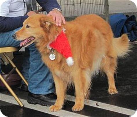 golden retriever puppies riverside ca buffy adopted 1940 riverside ca golden retriever collie mix