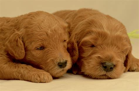 goldendoodle puppy cincinnati timberidge goldendoodles