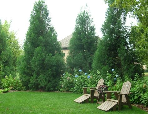 backyard privacy trees privacy plantings