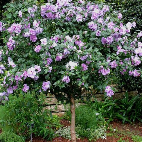 althea plant 95 best images about plant materials for houston small to medium shrubs on hedges