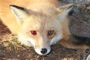 fox colors fox with a subconjuntival hemorrhage mostly tentacles