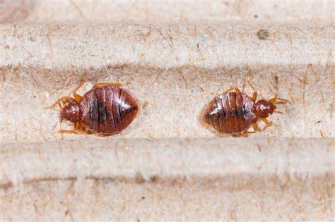 blutsaugende parasiten bettwanzen sind zur 252 ck in