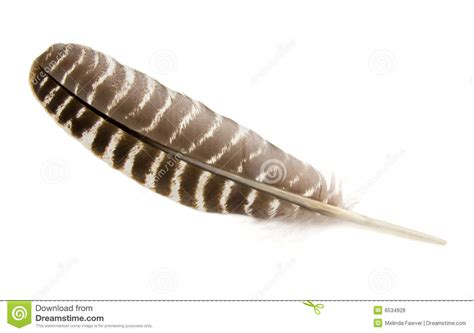 Turkey Feather turkey feather stock photo image of symbol striped 6534928
