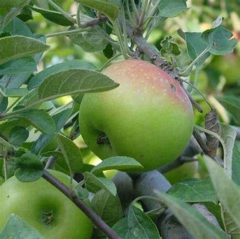 tanaman obat tradisional apel obat diabetes tanaman