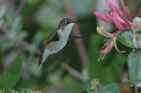 michigan hummingbird guy summer hummingbirds
