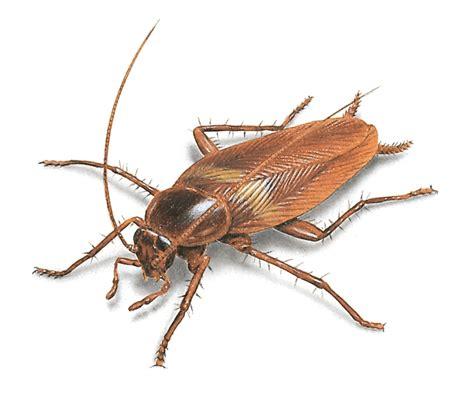 Kakerlaken Bilder by Cockroach Pictures Roach Photos Images