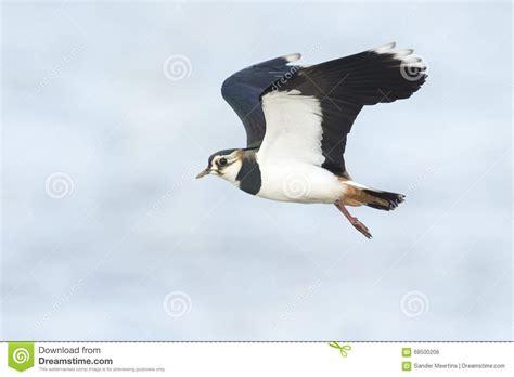 Plover Landing green plover landing stock photo image 68500206