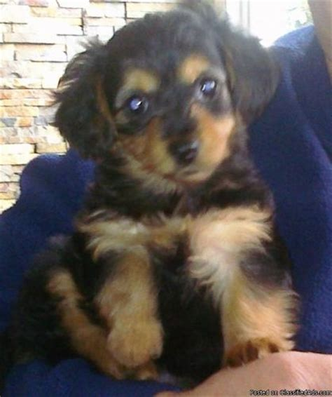 doxie yorkie mix sale 17 best ideas about small dogs for sale on small puppies for sale tiny