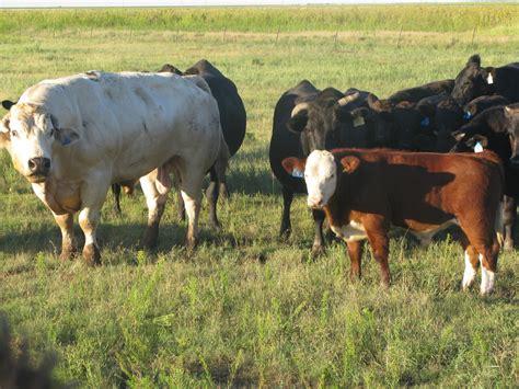 blue cattle belgian blue cattle ma