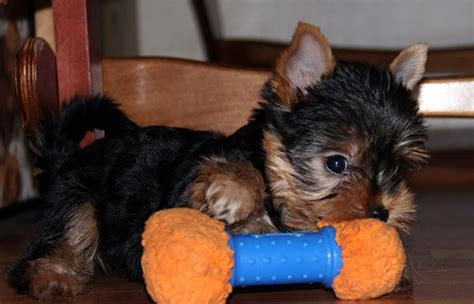 liver problems in yorkies to fix terrier health problems