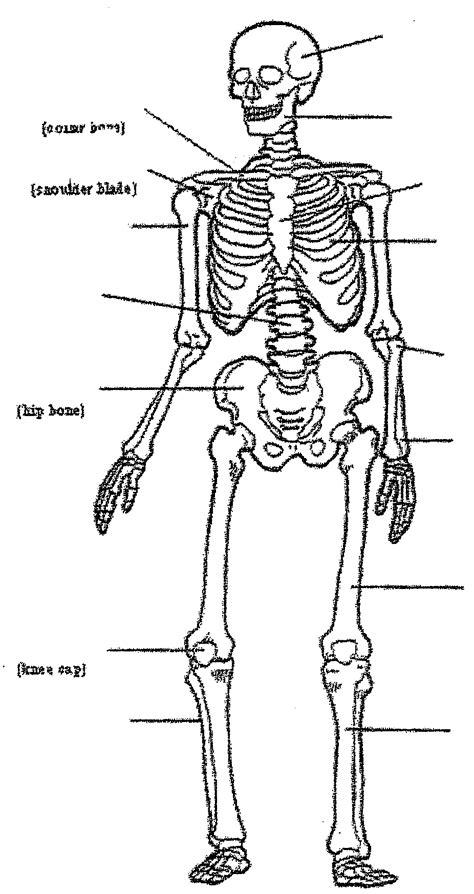 blank skeletal system diagram anatomy human chart