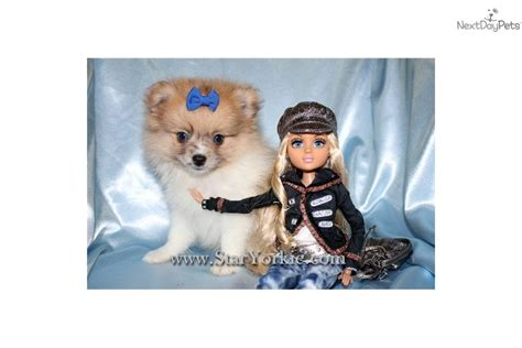 teacup pomeranian puppies for sale in los angeles meet www staryorkie a pomeranian puppy for sale for 1 400 teacup pomeranian