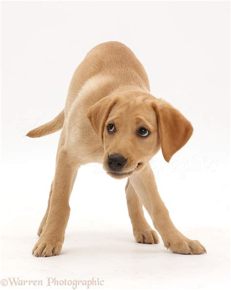 11 week puppy yellow labrador puppy 11 weeks photo wp42598