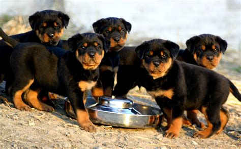 rottweiler pitbull puppies for sale rottweiler puppies for sale 2 rottweiler