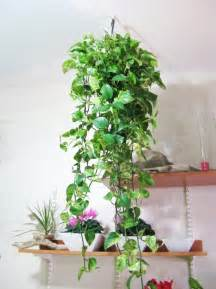 Home Plant Gallery For Gt Hanging Indoor Plant