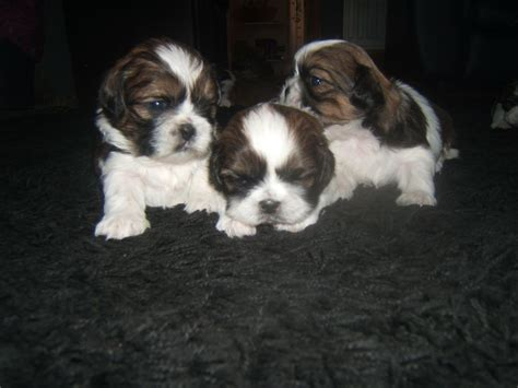 brown and white shih tzu puppies for sale in ga shih tzu pedigree puppies brown white sunderland tyne and wear pets4homes