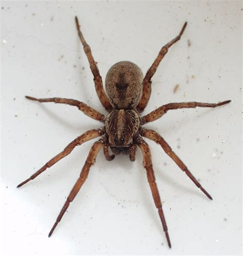 wolf spiders are poisonous but not lethal harmon and sons