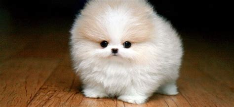 pomeranian costs best images collections hd for gadget windows mac android