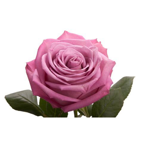 Design A Custom Home Online For Free lavender rose moody blue lavender purple roses