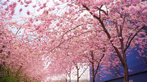 blossom tree cherry blossom tree wallpaper 1113739