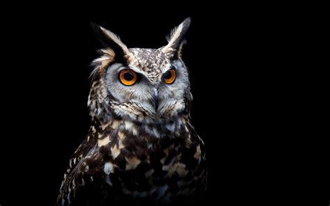 owl background owl orange birds black background wallpapers hd