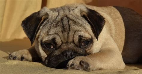 boy names for pugs 70 most popular pug names