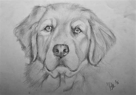 Retriever Drawing