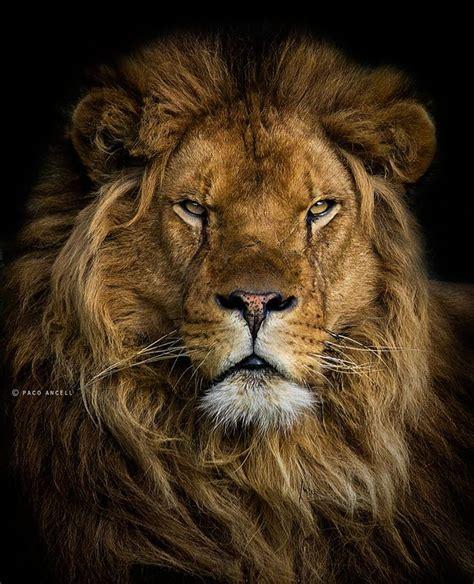 imagenes de leones fantasia m 225 s de 1000 im 225 genes sobre mundo animal en pinterest