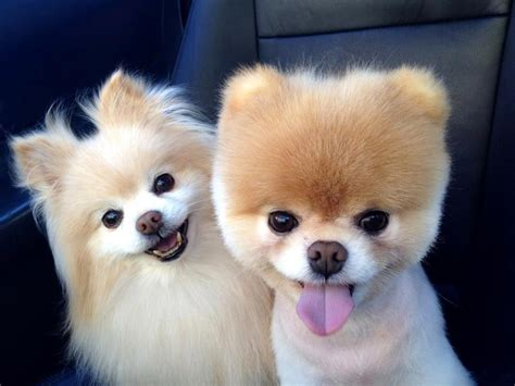 clipped pomeranian pomeranian clipped and dogs cats