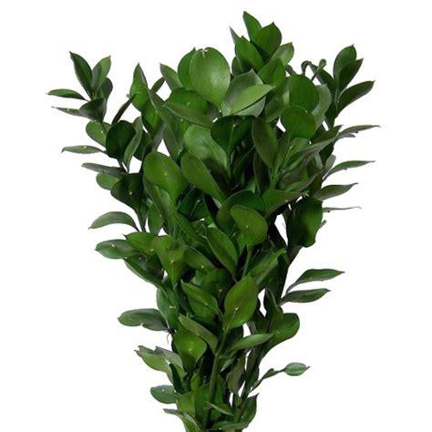 Vase Fillers Bulk Israeli Ruscus Green Filler Flower