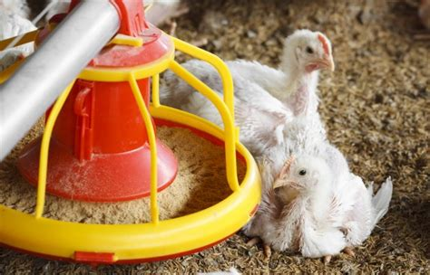 what do backyard chickens eat what do chickens eat chicken feed raising chickens