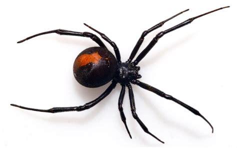 venomous spider bites man sitting   toilet