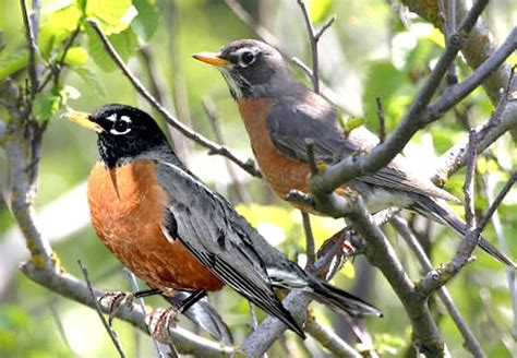 wild birds unlimited male and female american robin