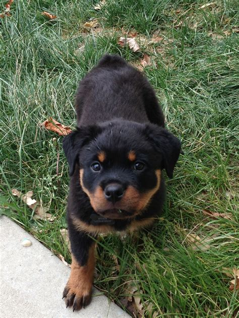 rottweiler and baby baby rottweiler so i want one things baby rottweiler