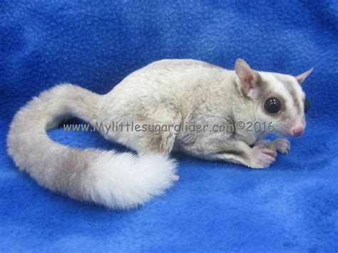 color exles sugar glider colors the best picture sugar and aircraft