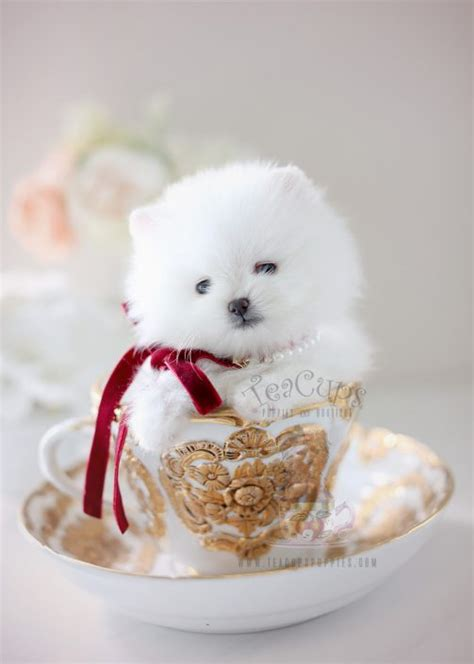where can i buy a pomeranian where can i find a teacup pomeranian goldenacresdogs