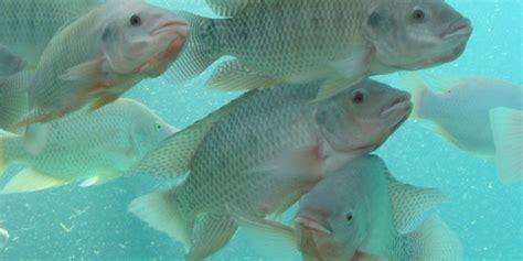 Jual Bibit Ikan Nila Sleman jual pakan ikan nila jakarta berternak