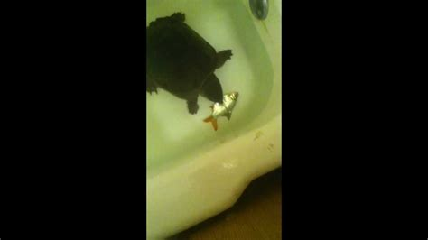 turtle in bathtub donitella the girl snapping turtle catches tin foil barb