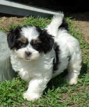 havanese and chihuahua mix havanese chihuahua mix breeds picture