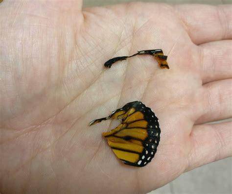 el ala rota 8467923237 una mujer repara el ala rota de una mariposa monarca