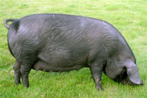 large black large black pigs the gentle giants pocket farm magazine