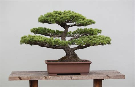 bonsai  beginners