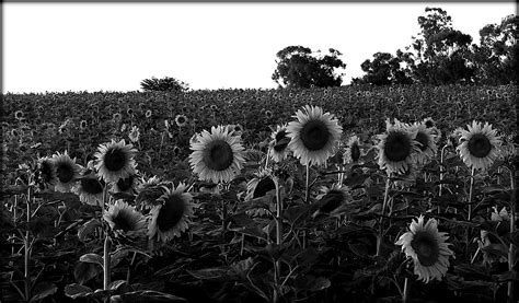sunflower field off route 15 in northern new jersey near sparta elevation map of free state south africa maplogs