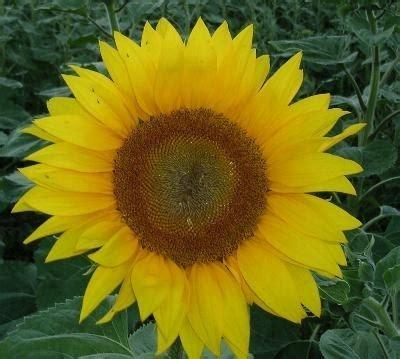 girasole fiore significato significato girasole 4 significato dei fiori