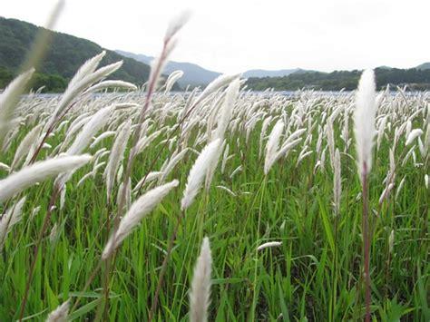 Herbilogy Cogon Grass Alang Alang tanaman alang alang sebagai obat tradisional bibitbunga